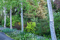 Populus tremuloides, Quaking aspen, columnar white trunk trees lining driveway path in O'Byrne Garden