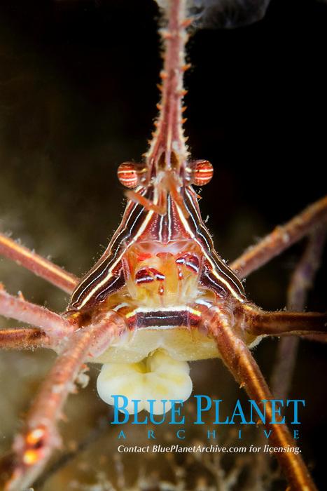 Yellowline Arrow Crab, Stenorhynchus seticornis, with an unidentified parasite attached to it, Lake Worth Lagoon, Riviera Beach, Florida, USA, Atlantic Ocean