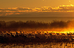 Sandhill Cranes and geese standing in water and fog in Bosque Del Apache National Wildlife Refuge, New Mexico