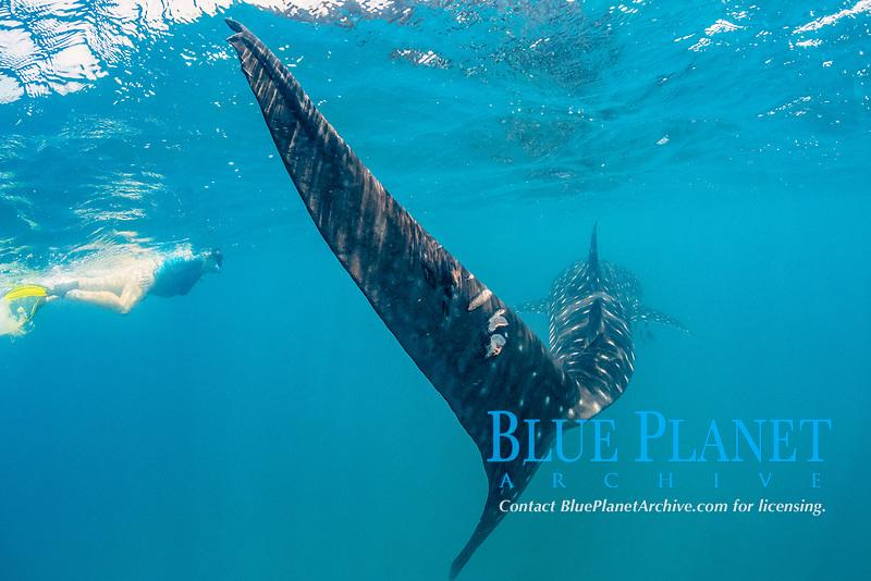 whale shark, Rhincodon typus, caudal fin with propeller scars, El Mogote, La Paz, Baja California Sur, Mexico, Pacific Ocean