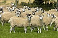Mule ewes Isle of Man.