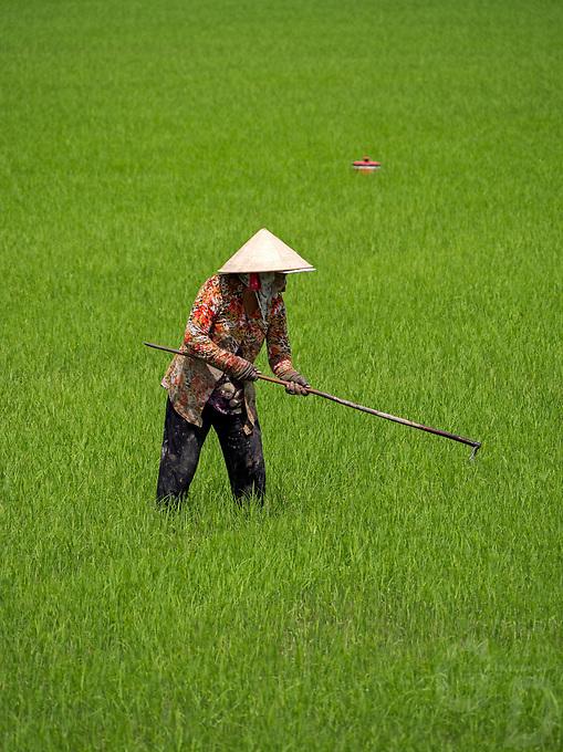 Women in lush green rice fields, Mekong Delta near Bac Lieu, Vietnam.