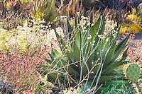 Agave shawii with flowering Buckwheats (Eriogonum) Bancroft Garden