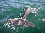 California Gray Whales by Frank Balthis