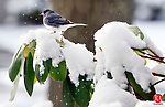 WOLCOTT CT. 21 March 2016-032116SV01-A little bird navigates a snow covered rhododendron plant after a quick spring snow storm in Wolcott Monday. <br /> Steven Valenti Republican-American