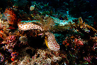 Peacock sea cucumber, Bohadschia argus. Raja Ampat, West Papua, Indonesia, Pacific Ocean