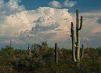 Seasonal storms build over the saguaros in southern Arizona. I finally got the timing for the storms right and many interesting creatures that can rarely be seen in the dry season were out and about.