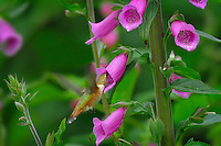 Immature or female Rufous Hummingbird (Selasphorus rufus) feeding on foxglove flowers, Pacific Northwest.  June.  This is the real thing not some setup.  This photo was taken in Olympic National Forest where foxglove is very common in logged over areas and along side roadways and trails.