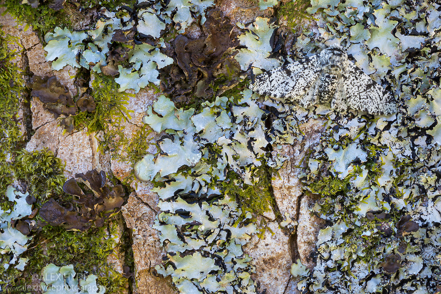 Peppered Moth {Biston betularia}, camouflaged on lichen-encrusted tree trunk. Isle of Mull, Scotland, UK. June.