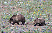 A grizzly bear and cub search for food.