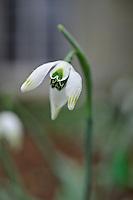 Galanthus L. P. Short