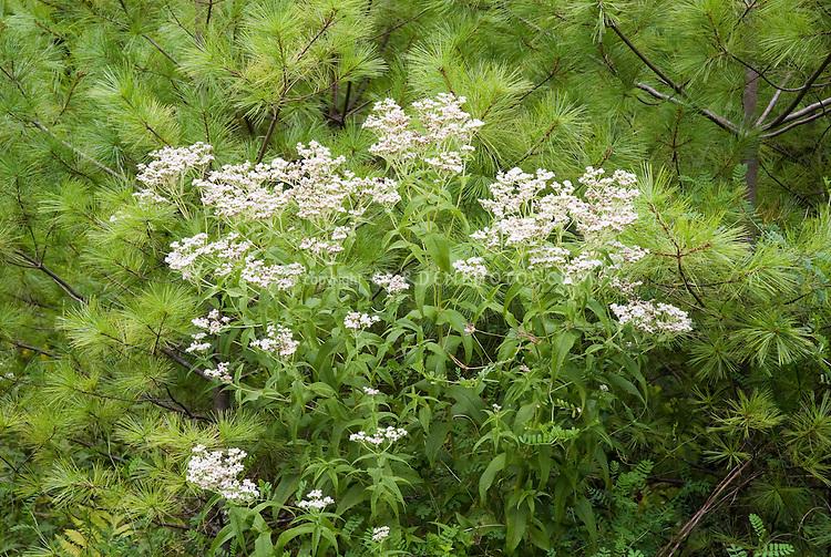 Eupatorium perfoliatum, Common Boneset, native American wildflower in bloom under Pinus strobus White pine tree, used in herbal medicine, homeopathy