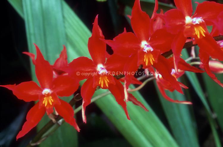 Odontioda = Oncostele Red Riding Hood intergeneric orchid hybrid from 1913, (Oncidium Bradshawiae x Rhynchostele rossii)