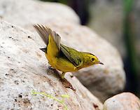 Male Wilson's warbler