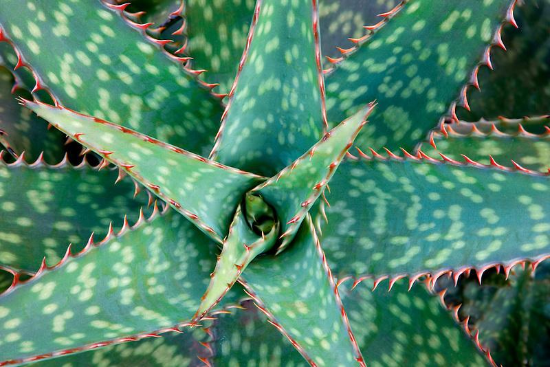 Aloe plant. Kauai, Hawaii.