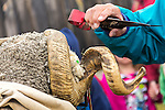 Sheep shearing at the Common Ground Fair in Unity, Maine, USA