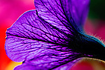 Petunia with backlight highlights veins in flower, soft background of other florals in  planter.  Lavender, pink and yellow.  Great greeting card or print image.