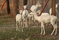 Herd of beautiful gracious shy white deers in Sakkarbaug Zoological Garden Junagadh