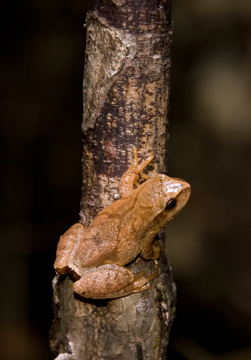 A tiny amphibian with a big voice, Hyla crucifer is one of the first frogs in spring to call for a mate.