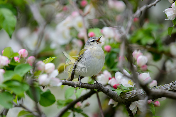 Tennessee Warbler (Leiothlypis peregrina) singing among crab apple blossoms.  Great Lakes Region.  May.