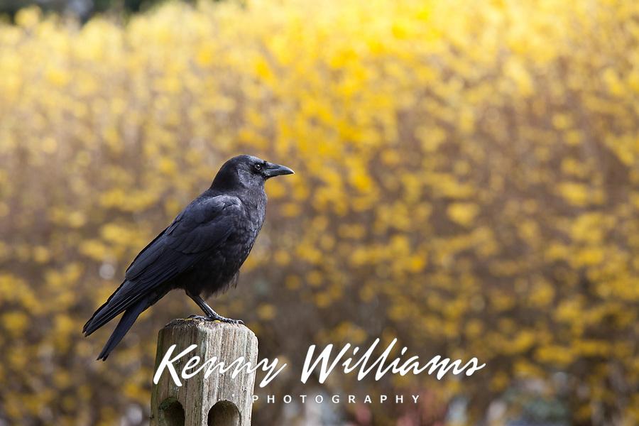 Western American Crow, Black Birds, Washington State, WA, America, USA.
