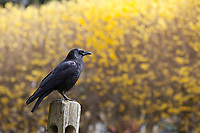 Western American Crow, Black Birds, Washington State, WA, America, USA.