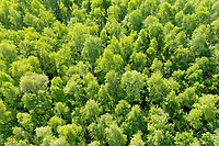 Birkenwald, Wald von oben, Luftaufnahme, Laubwald, wood, forest, Deutschland, Norddeutschland, Schleswig-Holstein, Germany. Birken-Wald, Hänge-Birke, Birke, Sand-Birke, Hängebirke, Sandbirke, Weißbirke, Betula pendula, European White Birch, Silver Birch, warty birch, birch, birch forest, birch grove, stem, bark, rind, Le bouleau verruqueux, bouleau blanc