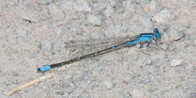 Slender Bluet (Enallagma traviatum) Damselfly - Male, Promised Land State Park, Greentown, Pike County, Pennsylvania