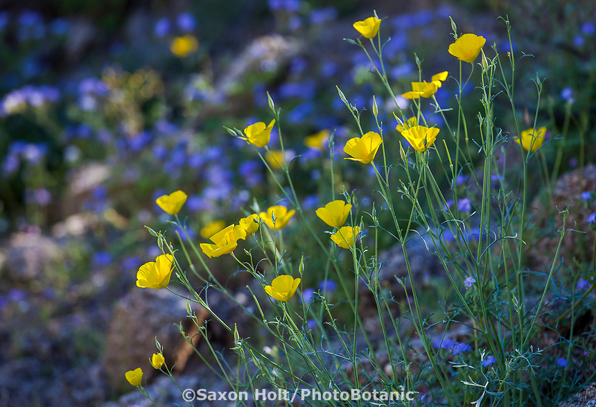 Eschscholzia minutiflora, Pygmy Poppy, yellow flowering wildflower; California native plant Anza Borrego State Park