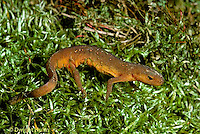 SL04-006z  Red -Spotted Newt - red eft (land form) - Notophthalmus viridescens