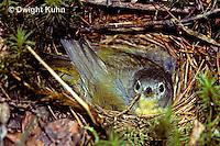 WB01-001z  Nashville Warbler - incubating young - Vermivora ruficapilla