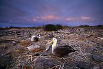 Waved albatross, Galapagos Islands, Ecuador . Critically endangered