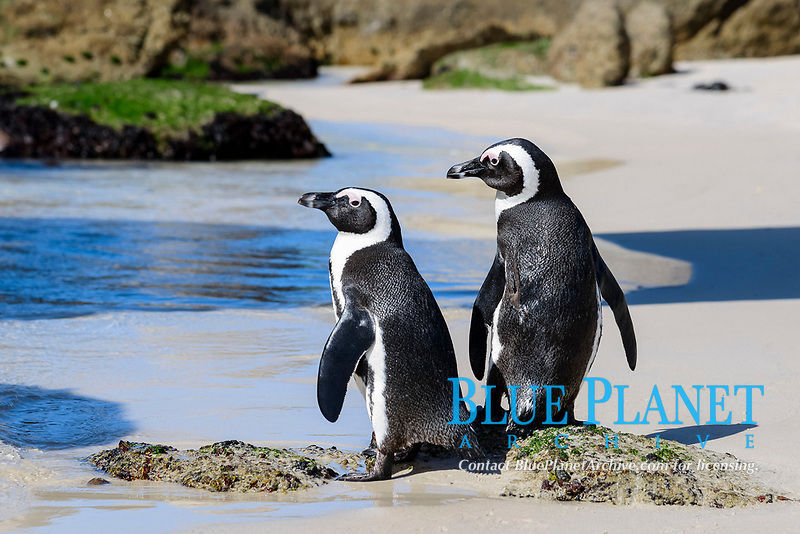 African penguin, Spheniscus demersus, a pair of adults, Boulders Beach, False Bay, Simons Town, South Africa