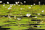 Water lilies on Rio Dulce near Livingston, Guatemala.