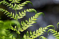 Gebirgs-Frauenfarn, Alpen-Waldfarn, Athyrium distentifolium, Athyrium alpestre, alpine lady-fern, Alpine Lady Fern, L'Athyrium des Alpes, Österreich, Kärnten, Austria, Alpen, alp, alps