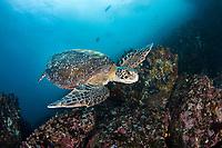 Green sea turtle, Chelonia mydas, an endangered species. Galapagos Islands, Ecuador.