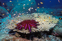 crown of thorns sea star (starfish), Acanthaster planci, feeding on Acropora table coral, Similan Islands, Thailand (Andaman Sea, Indian Ocean)