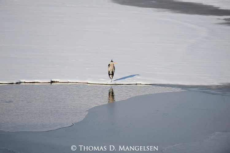 Great Blue Heron standing on the ice at Oxbow Bend in Grand Teton National Park.