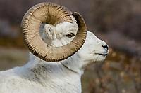 Dall sheep or Thinhorn sheep ram (Ovis dalli), Kluane National Park and Reserve, Yukon Territory. Sept.