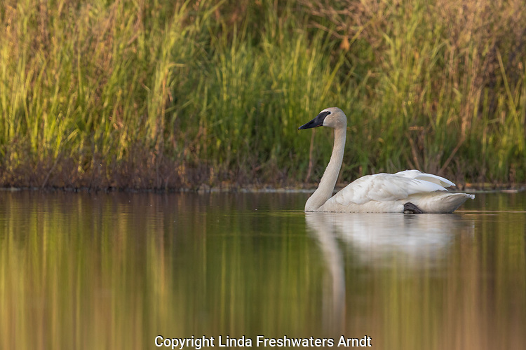 Trumpeter swan on a summer lake in northern Wisconsin.