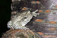 0303-0903  Eastern Gray Treefrog (Grey Tree Frog), Hyla versicolor  © David Kuhn/Dwight Kuhn Photography