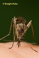MQ02-613z    Mosquito sucking blood from human finger, Ochlerotatus excrucians, [Aedes excrucians] .