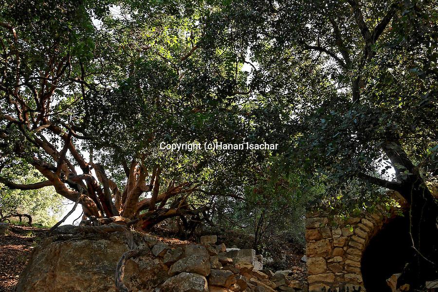 Judea, Oriental Strawberry (Arbutus Andrachne) tree in Ein Kinia