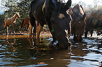 Horses come to a water hole in order of dominance at the Wild Horse Sanctuary where there are 300 horses on 5,000 acres that have been saved.<br /> <br /> Camera is fired by a remote as a curious horse drinks with his band.