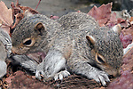 3 week old Eastern gray squirrel pups in nest, 2 shot.