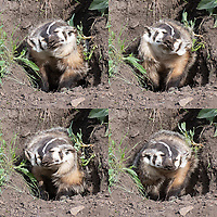 An adult American badger shows how loose its skin is with a good shake.