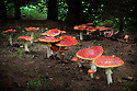 Fly agaric {Amanita muscaria} growing in coniferous woodland. Nordtirol, Tirol, Austrian Alps, Austria, August.