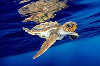 loggerhead sea turtle, Caretta caretta, juvenile, swimming in open ocean, Bahamas, Atlantic Ocean