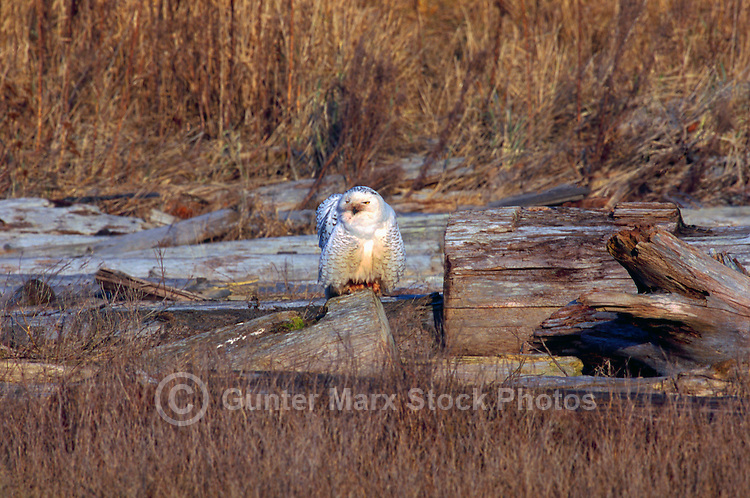 Snowy Owl (Bubo scandiacus) Female or Juvenile, sitting on Frost Covered Log at Boundary Bay Regional Park, Delta, BC, British Columbia, Canada - aka Arctic Owl, Great White Owl or Harfang.  Note bloody face and claws from feeding on hunted prey.