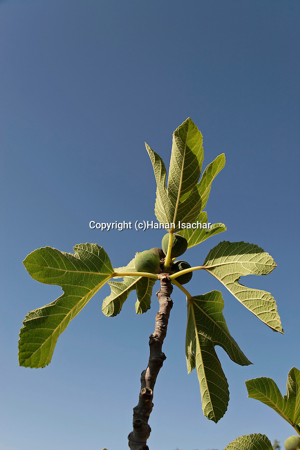 Israel, Jerusalem mountains. Figs at the Binlical Garden in Yad Hashmona